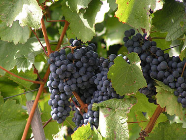 Weintraubenrispe